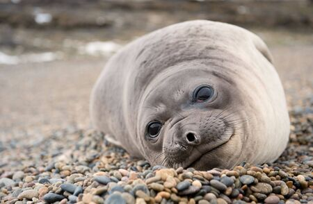 patagonia: Cute baby elephant seal, Valdes Peninsula, Patagonia Argentina. Stock Photo