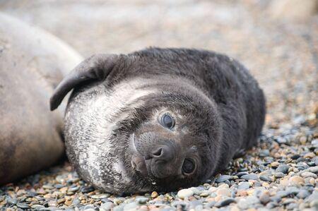 elephant nose:  Cute baby elephant seal, Valdes Peninsula, Patagonia Argentina.