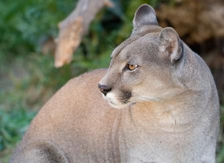 Puma concolor, head close up, copy space. photo