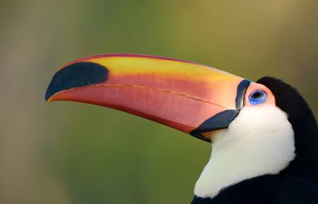 Toco toucan face, close up, with copy space.  photo