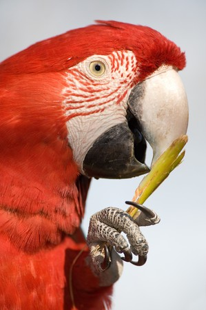 Colorful parrot eating and looking at the camera, close up. photo