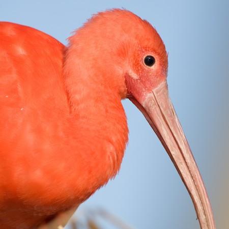 close up   head:  Scarlet Ibis, Eudocimus ruber close up head shot.