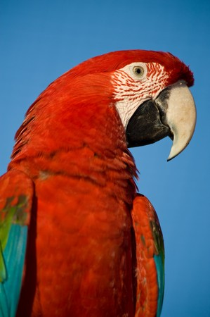 Colorful parrot isolated looking at the camera. photo