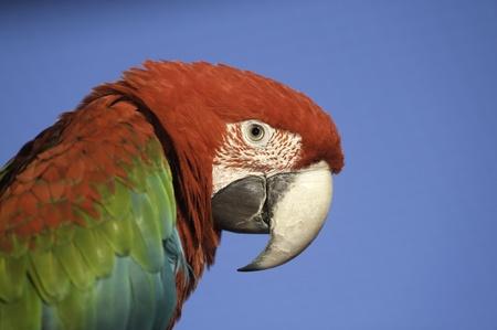 ararauna: Macaw portrait with copy space. Stock Photo
