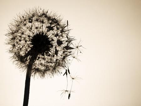 Close up of dandelion flower in backlight.  Stok Fotoğraf