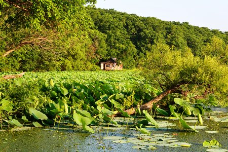 A tilted tree in a Lotus pond Stock Photo