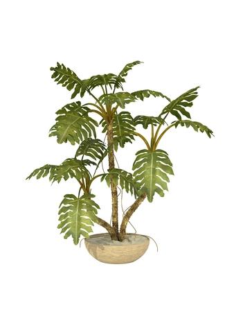 白い背景の上の熱帯植物モンステラ ceriman ポット栽培