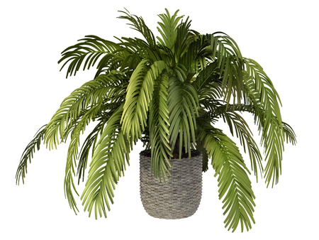 tropical plant in pot culture on white background, 版權商用圖片