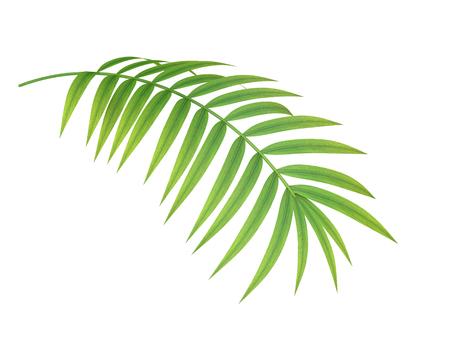 熱帯植物 fernleaf ヘッジ竹の枝