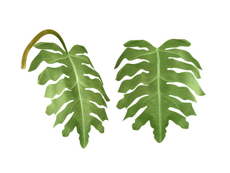 areca: tropical plant monstera ceriman leaf on white background,
