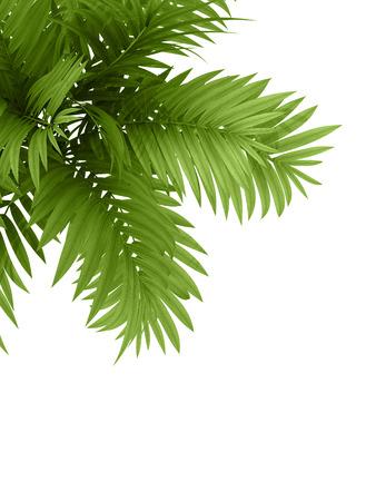 白い背景に熱帯植物 fernleaf のヘッジ竹の枝