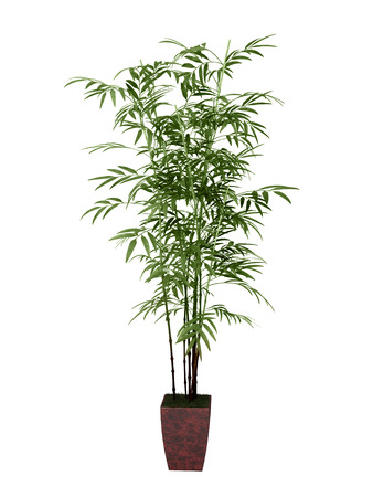 ornamental plant: bamboo tree in pot on white background, Stock Photo