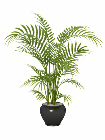 bamboo: fernleaf hedge bamboo in pot on white background,