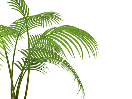 tropical plant, fernleaf hedge bamboo branches on white background Stock Photo