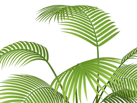 treetop: tropical plant fernleaf hedge bamboo branches on white background,