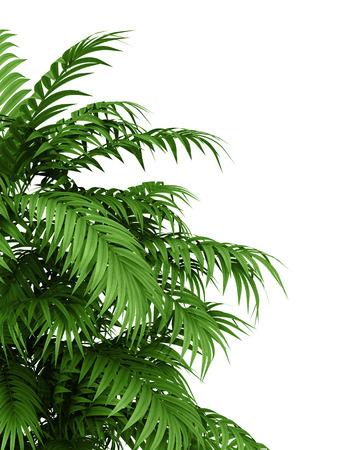 흰색 배경에 열대 식물 fernleaf 헤지 대나무 가지, 스톡 콘텐츠 - 35552417