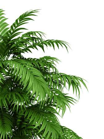 hedge plant: tropical plant fernleaf hedge bamboo branches on white background,