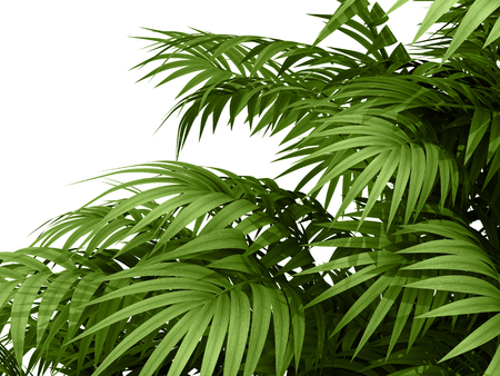tropical plant fernleaf hedge bamboo branches on white background, photo