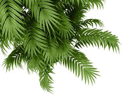 白い背景で熱帯植物 fernleaf ヘッジ竹の枝