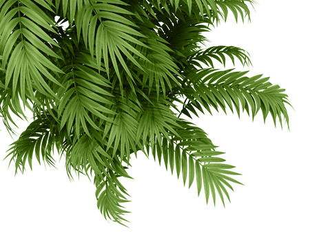 areca: tropical plant fernleaf hedge bamboo branches on white background,