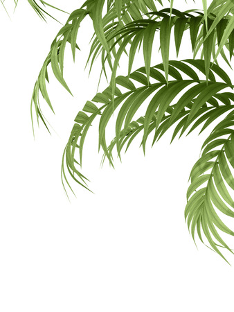 tropical plants: tropical plant fernleaf hedge bamboo branches on white background,