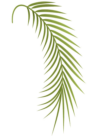 bosk: tropical plant fern-leaf hedge bamboo branches on white background.