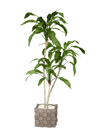tropical plant in pot culture on white background.