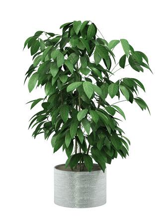 struik plant in pot cultuur op een witte achtergrond,