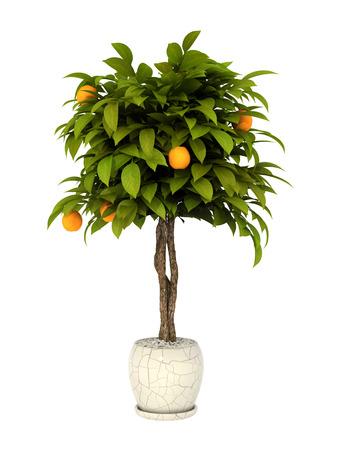 白い背景の上の鍋文化のオレンジの木