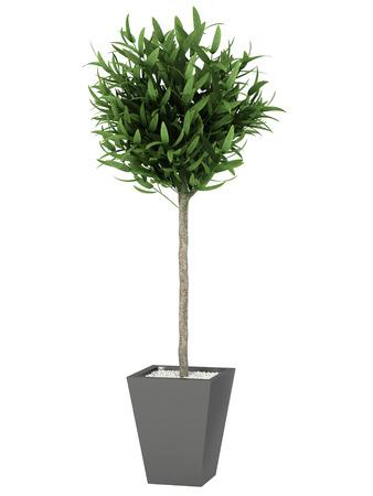 bush plant in pot  on white background,