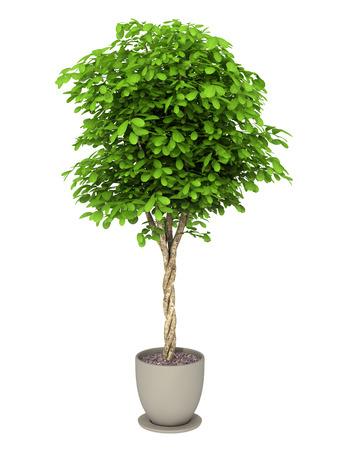 plant in pot: bush plant in pot culture on white background Stock Photo