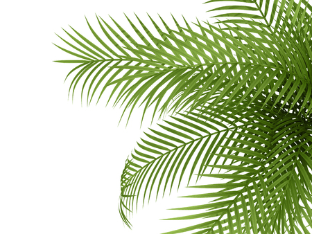 tropical tree: tropical plant fernleaf hedge bamboo branches on white background,