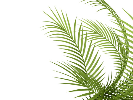 hedge: tropical plant fern leaf hedge bamboo branches on white background