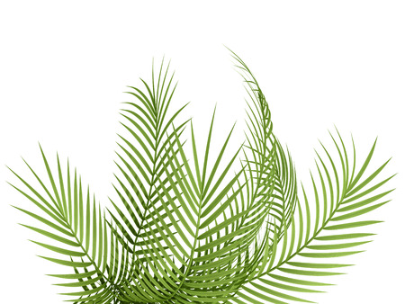 fern leaf: tropical plant fern leaf hedge bamboo branches on white background