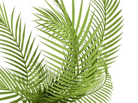 tropical plant fern leaf hedge bamboo branches on white background Reklamní fotografie - 35962191