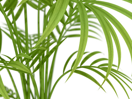 hedge: tropical plant fernleaf hedge bamboo branches on white background Stock Photo