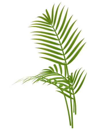 tropical plant fernleaf hedge bamboo branches on white background Stock Photo