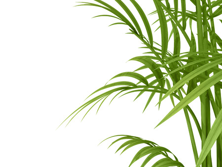 treetop: tropical plant fernleaf hedge bamboo branches on white background Stock Photo