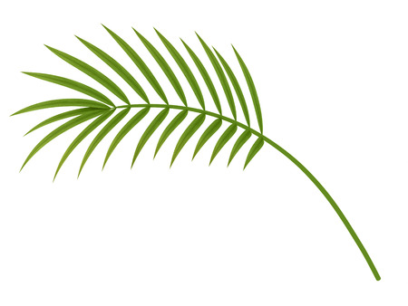 thicket: tropical plant fernleaf hedge bamboo leaf on white background Stock Photo