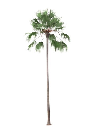 bosk: tropical plant tree isolated on white background,