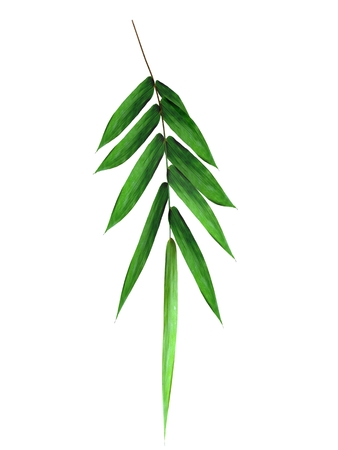 green bamboo branch isolated on white background
