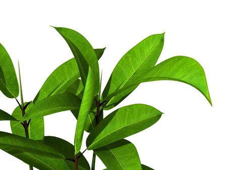 broad leaf: green potted plant isolated on white background. Stock Photo