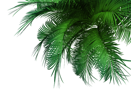 tropical tree: green palm tree isolated on white background.