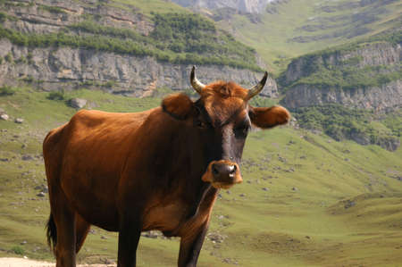 The bull in mountains photo