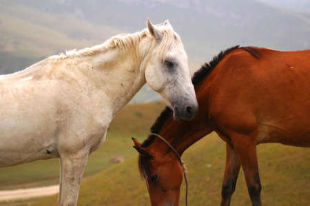 Two horses  - white and brown photo