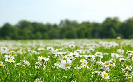 Field with daises - shallow field of depth photo
