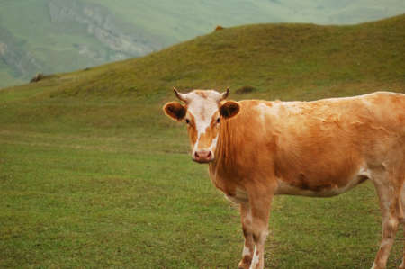Cow grazing at the field photo