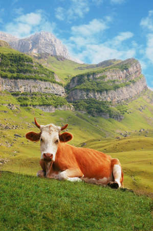 Cow in high mountains photo