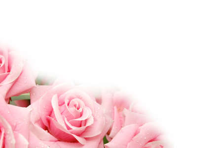pinks: Roses with water drops  - use copyspace for your text
