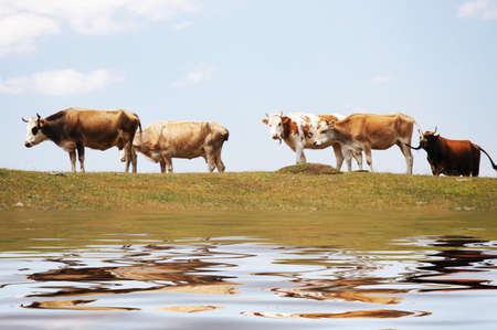 Cows at the lake and their reflections in the water photo